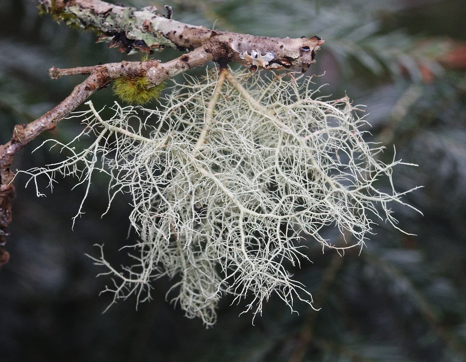 beard lichen photo - 1