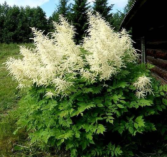 false goats beard shade 1